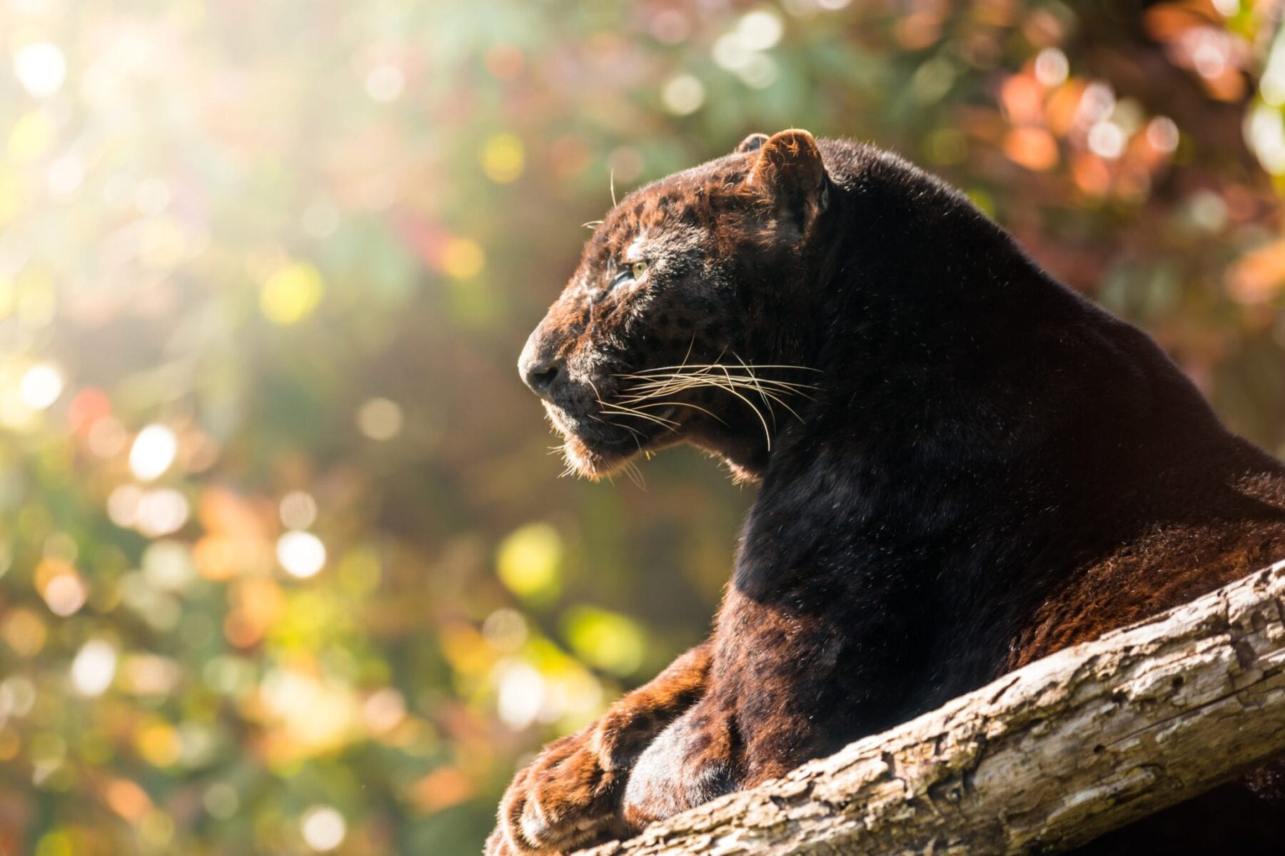 Panther in sunlight